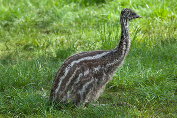 Two-month-old emu (Dromaius novaehollandiae).