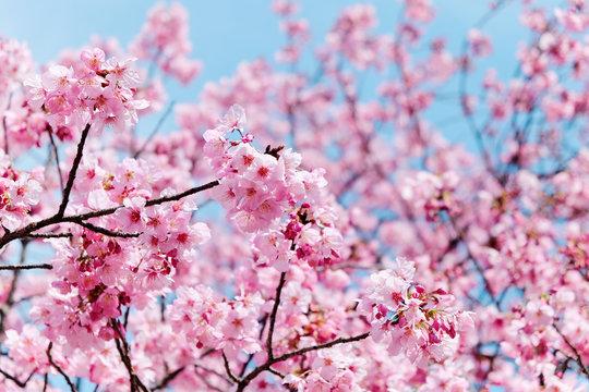 image of cherry blossom season in tokyo,Japan