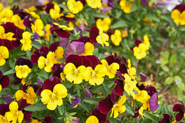 Flower pansies. Love and Tenderness concept
