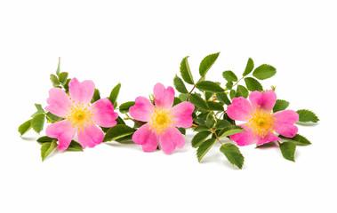 wild rose flower isolated