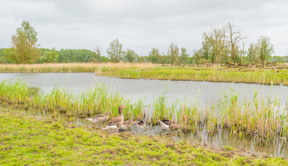 Geese and goslings along the shore of a lake