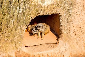 Zwei Erdmännchen kuscheln in einer höhle