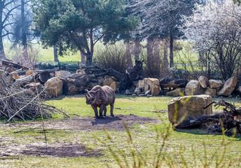 Nashorn im Gehege