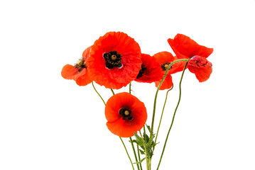 Foto op Canvas Poppy a bouquet of red poppies isolated