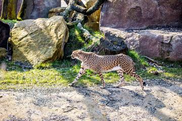 Gepard im Gehege