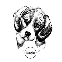 Vector close up portrait of beagle dog. Hand drawn domestic pet dog illustration. Isolated on white background.