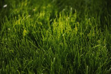 Green grass in sunlight