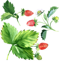 Wild strawberry with green leaves and red fruit, watercolor illustration
