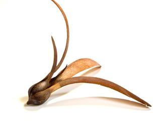Meranti seed
