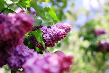 Lilac blooms. A beautiful bunch of lilac closeup. Green branch with spring lilac flowers. Lilac bush. Lilac flowers on tree in garden.