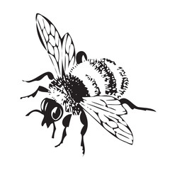 Vector engraving antique illustration of honey flying bee, isolated on white background. One  flying bee