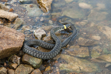 Snake in the water near the shore of the lake