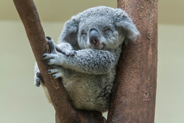 Photo sur Toile Koala koala resting and sleeping on his tree