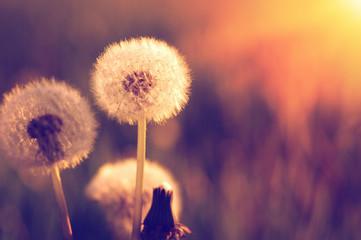 Fototapete - Dandelions in the sun