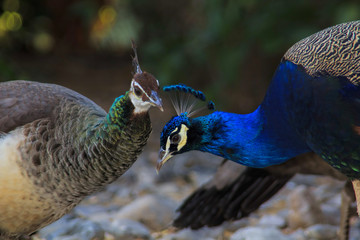 Peacock loving couple