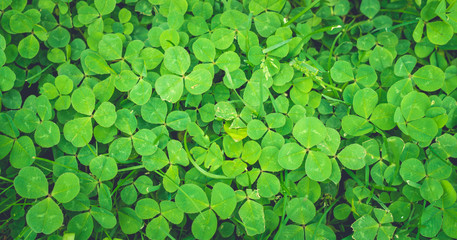 Зелёный клевер