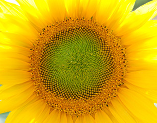 Close up of centre of single sunflower
