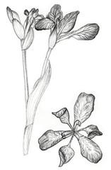 Iris flower drawing on white background
