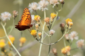 Mexican Fritillary on Yellow Flowers