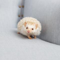 Little white hedgehog walks on a light blue armchair