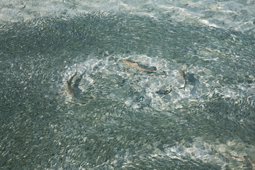 Jagende Haie am Strand, ( Malediven )
