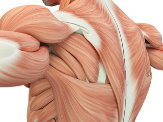 Human anatomy shoulder and back. 3d illustration. Wall mural
