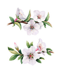 Watercolor cherry flower illustrations