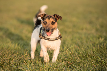 Jack Russell Terrier auf einer grünen Wiese
