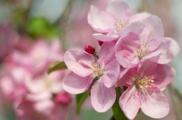 Spring blossom, Apple flowers, soft focus