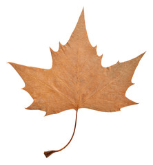 Dry maple leaf isolated on white.