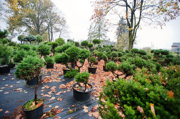 Many black pots with soil and seedlings of coniferous trees and