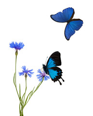 blue chicory flowers flowers and two butterflies