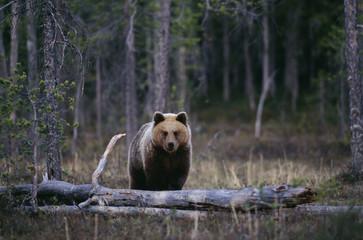 Bear standing by tree trunk