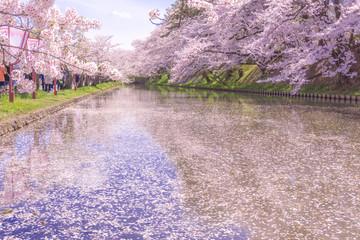 hirosaki park cherry brossom 弘前公園の桜