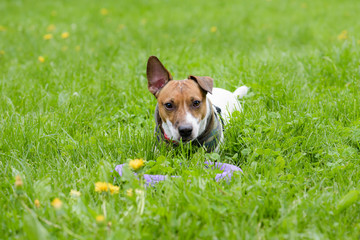 Cute dog with toy and funny ear lying on grass