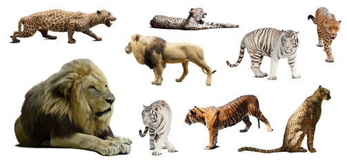 Set of male lion and other big wildcats Wall mural