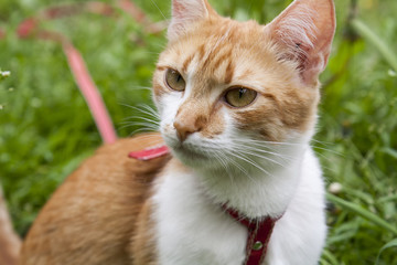 Cute white-red cat in a red collar watching for something on the trail of green grass
