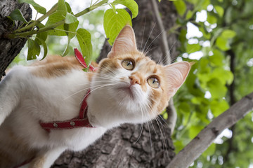 Cute white-red cat in a red collar prepares to jump from tree. Cat while hunting.