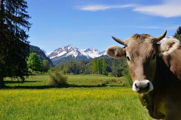 Kopf einer Kuh auf der Alpe im Gebirge