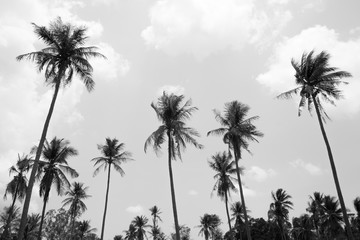 Coconut tree in black and white background
