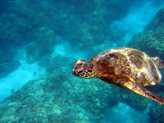 Curious Hawaiian Turtle