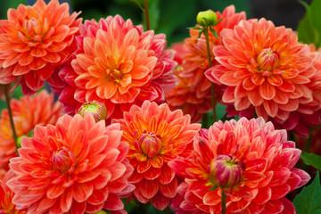 Poster Dahlia Dahlia red or orange flowers in garden full bloom