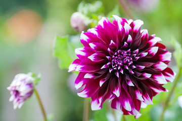 Purple and white Dahlia flower in full bloom closeup