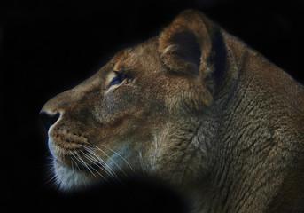 lioness on black background