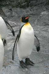 キングペンギン|王様ペンギン