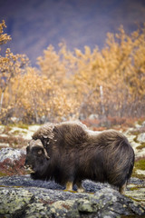 Muskoxen in mountain landscape in the autumn, Norway.