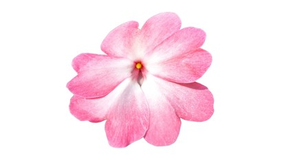 pink rose isolated on white background, the science name is rhododendron azaleas