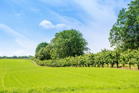Obstbäume und Getreidefeld in Rheinhessen, Deutschland