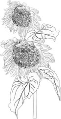two sunflower blooms sketch isolated on white