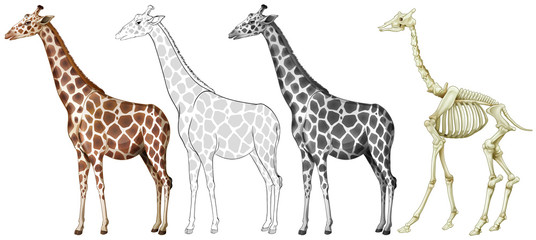 Giraffe and its bone structure